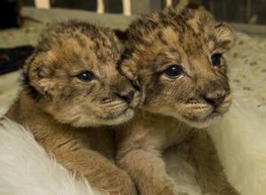 Photo - The lion cubs born on Dec. 6 at the San Diego Zoo Safari Park cuddle in their play area in the animal care center. Image via The Press-Enterprise