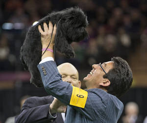 Photo - FILE - In this Feb. 12, 2013 file photo, Ernesto Lara celebrates with Banana Joe, an affenpinscher, who won Best in Show, during the 137th Westminster Kennel Club dog show at Madison Square Garden in New York. The winner of the 138th Westminster Kennel Club will be picked Tuesday night, Feb. 11, 2014, at Madison Square Garden. (AP Photo/Frank Franklin II, File)