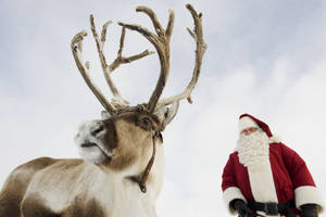 Photo - Reindeer milk has a fat content of 22 percent, which is six times as much as in cow's milk. Photo provided