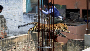 Photo - In this Sunday, Feb. 23, 2014 photo, an Indian man moves out of the way of a leopard in the northern Indian city of Meerut, India. Forestry officials and police armed with tranquilizer darts searched for a leopard that injured six people in the northern Indian city, creating panic and driving people indoors, police said Tuesday. (AP Photo)