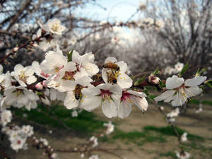 photo - FILE - In this Feb. 23, 2011 photo, bees pollinate almond trees at an orchard near Bakersfield, Calif.  In 2011, for the first time ever, the value of the California almond crop surpassed the state's iconic grape industry to move into second place, behind dairy, making almond producing land one of the highest priced and most sought-after in the region. The demand for almonds is driven largely by the newly-minted money-spending middle classes in China and India. (AP Photo/Gosia Wozniacka, File)