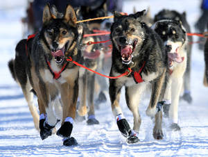 photo - Lead dogs on the team of Louie Ambrose run during the ceremonial start of the Iditarod Trail Sled Dog Race Saturday, March 2, 2013, in Anchorage, Alaska. The competitive portion of the 1,000-mile race is scheduled to begin Sunday in Willow, Alaska. (AP Photo/Dan Joling)