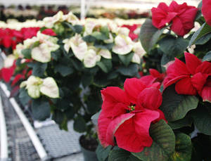photo - Poinsettias, like these for sale at the recent Oklahoma State University-Oklahoma City Horticulture Department's annual sale, are the plants that herald the Christmas season. AP PHOTO <strong>Sue Ogrocki</strong>