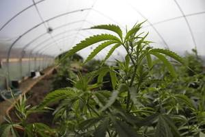 photo - In this May 13, 2009 file photo, marijuana grown for medical purposes is shown inside a greenhouse at a farm in Potter Valley, Calif in Mendocino County. (AP Photo/Eric Risberg, File)