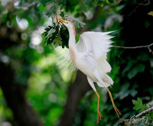 Photo - A cattle egret takes flight near NW 10 and Council in Oklahoma City. Photos by Steve Gooch, The Oklahoman Archive