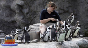 Photo - FILE - In this July 2, 2008 file photo, Erin Lovin feeds the African black footed penguins at the Mystic Aquarium Institute for Exploration in Mystic, Conn. A new tourism effort, in May 2013, highlights areas in the southern New England states of Connecticut, Massachusetts and Rhode Island.  (AP Photo/Bob Child, File)
