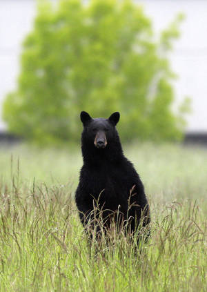 Photo - An adult black bear looks over the grass near the Tualatin Elementary School on Wednesday in Tualatin, Ore. Police in Tualatin, just south of Portland, tracked the bear roaming in a wooded area near the school. The bear dashed away from the school and climbed a tree. He was then tranquilized by authorities. AP Photo