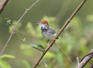 Photo - This undated photo taken by Birdtour Asia and released by the World Wildlife Fund, shows the Cambodian tailorbird - a small, dark warbler with an orange-red tuft on its head discovered, in Phnom Penh, during spot checks for the avian flu. The WWF said Thursday, June 5, 2014, some of the more remarkable and charismatic discoveries made in other parts of the Mekong Delta region of Southeast Asia from 2012 to 2013 included the bird. (AP Photo/James Eaton, Birdtour Asia via the World Wildlife Fund)