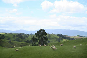 Photo - The 1250 acre Alexander sheep farm near Matamata is the site of Hobbiton in the motion pictures.   Photo by Elaine Warner. <strong></strong>