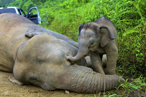 Photo - In this Wednesday, Jan. 23, 2013 photo released by Sabah Wildlife Department, a 3-month-old elephant calf tries to awake its dead mother at the Gunung Rara Forest Reserve in Sabah, Malaysia. Ten endangered Borneo pygmy elephants have been found dead in the Malaysian forest under mysterious circumstances, and wildlife authorities suspect that they were poisoned. (AP Photo/Sabah Wildlife Department) NO SALES, EDITORIAL USE ONLY