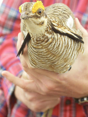 Photo - In this April 9, 2002, file photo a handler prepares to release a lesser prairie chicken near Laverne. <strong>CHAD LOVE - AP file photo</strong>