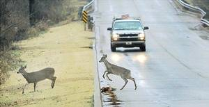 Photo - A motorist slows as deer cross N Pine Street in Guthrie.  Photo by Steve Gooch, The Oklahoman archives