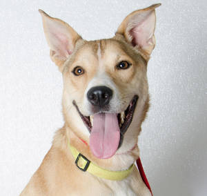 Photo - Gigi is a 1-year-old pit bull terrier and Labrador mix who loves dogs and people and is housebroken. Her number at the Oklahoma City Animal Shelter is 83079, and her adoption fee is $25. The shelter is at 2811 SE 29. PHOTO PROVIDED BY Oklahoma City Animal Shelter