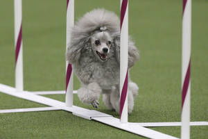 Photo - Tommy the Poodle runs the weave poles during the Masters Agility Championship at Westminster staged at Pier 94, Saturday, Feb. 8, 2014, in New York. The first annual agility championship is part of the  Westminster Kennel Club dog show. (AP Photo/John Minchillo)