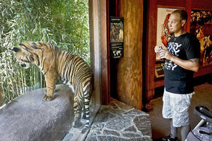 Photo - Tarl Johnson gets a closer look Friday at a Sumatran tiger at the Oklahoma City Zoo. Photo by Chris Landsberger, The Oklahoman