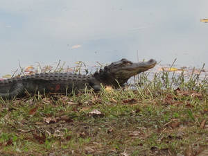 Photo - An alligator spotted on Sea Pines Forest Reserve. Photo by Tracy Teo