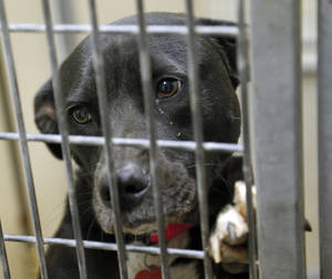 photo - Etta (#122903), a 4 year-old Black Lab mix, is available for adoption at the Oklahoma City Animal Shelter in Oklahoma City, Thursday, Oct. 4, 2012. The shelter  has reduced adoption fees to $25 for dogs and puppies in October. Photo by Nate Billings, The Oklahoman
