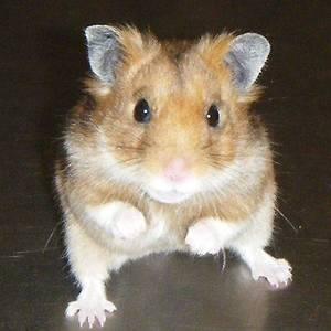 Photo - This is a Teddy Bear hamster that looks almost exactly like Killer. Photo from Glogster, a visual social networking site. <strong>Picasa 3.0</strong>