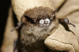 photo - FILE - This October 2008 file photo provided by the New York Department of Environmental Conservation shows a little brown bat suffering from white-nose syndrome, with the signature frosting of fungus on its nose, found in a New York cave. The Illinois Department of Natural Resources said Thursday, Feb. 28, 2013, that the disease that has decimated bat populations in the eastern United States has been detected in four counties in far southern Illinois. (AP Photo/New York Department of Environmental Conservation, Ryan von Linden, File)
