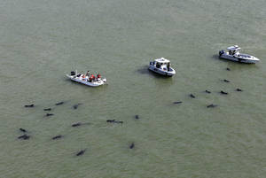 Photo - Officials in boats monitor the scene where dozens of pilot whales are stranded in shallow water in a remote area of Florida's Everglades National Park, Wednesday, Dec. 4, 2013. (AP Photo/Lynne Sladky)