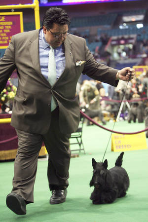 Photo - Gabriel Rangel shows Sadie, a Scottish terrier, in the ring Tuesday during the Westminster Kennel Club Dog Show in New York. AP PHOTO