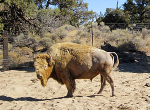 photo -   This undated handout photo provided by Cynthia Hart-Button shows Chief Hiawatha, a white buffalo bull. Cynthia Hart-Button, president of the Sacred World Peace Alliance says the nonprofit sanctuary for white buffalo in central Oregon is sending Chief Hiawatha as a gift to a rancher and his family in North Texas whose white buffalo calf, Lightning Medicine Cloud, was killed nearly two weeks ago. (AP Photo/Cynthia Hart-Button)