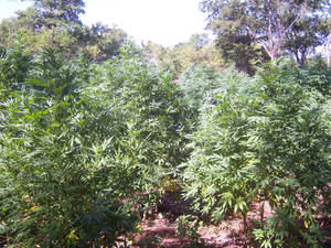photo - Some of the marijuana plants seized by authorities Monday north of Ada are shown. The plants numbered as many as 6,000 and had an estimated street value of $9 million. PHOTOs PROVIDED BY OKLAHOMA BUREAU OF NARCOTICS AND DANGEROUS DRUGS CONTROL