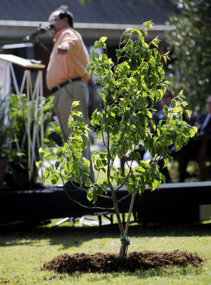 Photo - Ron Vega, director of design and construction for the National Sept. 11 Memorial and Museum, points to a seedling from the Sept. 11 Survivor Tree while speaking during the tree dedication.