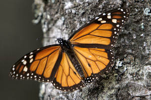Photo - FILE - In this Dec. 9, 2011 file photo, a Monarch butterfly perches on a tree at the Sierra Chincua Sanctuary in the mountains of Mexico's Michoacan state. The number of Monarch butterflies wintering in Mexico has plunged to its lowest level since studies began in 1993. A report released on Wednesday, Jan. 29, 2014 by the World Wildlife Fund, Mexico's Environment Department and the Natural Protected Areas Commission blames the dramatic decline on the insect's loss of habitat due to illegal logging in Mexico's mountaintop forests and the massive displacement of its food source, the milkweed plant. (AP Photo/Marco Ugarte, File)
