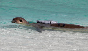 Photo -   FILE- This 2002, file photo, provided by the National Marine Fisheries Service shows a juvenile Hawaiian monk seal with a camera strapped to its back at French Frigate Shoals, Hawaii, one of the outermost islands in the Hawaiian island chain. The agency plans to glue underwater cameras smaller than the one pictured to the backs of seals in the main Hawaiian Islands to prove to fishermen the animals aren't harming their way of life. (AP Photo/National Marine Fisheries Service, File)