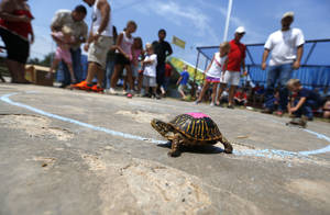 Photo - A turtle finishes his race during the Blackberry festival in McLoud, Okla., Saturday, July 7, 2012. Photo by Sarah Phipps, The Oklahoman