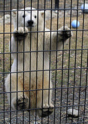 Photo - Kali, a polar bear cub orphaned when its mother was killed by a hunter in northwest Alaska, climbs the screen of his cage on Monday, May 13, 2013, at the Alaska Zoo in Anchorage, Alaska. UPS will fly the cub Tuesday to its new temporary home at the Buffalo Zoo. (AP Photo/Dan Joling)
