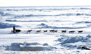 Photo - FILE - In this March 13, 2013 file photo, Musher Michelle Phillips of Tagish, Yukon Territory, Canada, makes the final push in the Iditarod, on the Bering Sea  for the finish line outside Nome, Alaska. Warm weather during much of the winter across Alaska nearly prompted officials at the Iditarod Trail Sled Dog Race to move the start to Fairbanks for the first time in a decade. But temperatures have dropped, and the 42nd running of the race across Alaska will start just as normal this weekend in Anchorage. (AP Photo/Mark Thiessen, File)