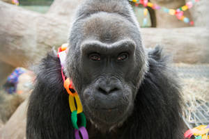 photo - This photo provided by the Columbus Zoo and Aquarium shows 56-year-old Colo posing for a photo as she celebrates her birthday, Saturday, Dec. 22, 2012, at the Columbus Zoo and Aquarium in Columbus, Ohio. Colo is the oldest gorilla in any zoo. She was born at the Columbus Zoo and Aquarium in 1956. (AP Photo/Columbus Zoo and Aquarium, Grahm S. Jones)