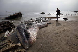 Photo - A woman walks her dog past a dead young male fin whale that washed up Monday between the Paradise Cove and Point Dume areas of Malibu, Calif. on Thursday, Dec. 6, 2012. The rotting carcass near celebrity homes is causing a gigantic cleanup problem as authorities try to decide who's responsible for getting rid of it. Los Angeles County lifeguards planned to try to pull the 40,000-pound carcass out to sea, perhaps at high tide Thursday, said Cindy Reyes, executive director of the California Wildlife Center.( AP Photo/Nick Ut)