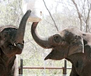 Photo - Asha (right) and Chandra, the elephants at the Oklahoma City Zoo, eat from a feeder hanging above them at the new Elephant Exhibit on Tuesday, April 5, 2011. Photo by John Clanton, The Oklahoman ORG XMIT: KOD