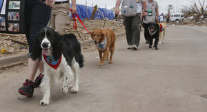 Photo - Animals and humans alike can get their exercise in this weekend at the Strutt Your Mutt Dog Walk Benefit for May 20 Disaster Relief. Here, Toby, left, and other therapy dogs and their handlers from Therapy Dogs International, walk down a tornado ravaged street in Moore, Okla., Monday, May 27, 2013. (AP Photo/Sue Ogrocki)   <strong>Sue Ogrocki</strong>