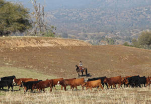 photo - In this photo taken on Nov. 26, 2012 near Friant, Calif., cattle manager Logan Page pushes cattle grazing on the Finegold Creek Preserve toward another pasture. The preserve is owned by the Sierra Foothill Conservancy, a Fresno-area land trust that's raising its own beef herd to benefit the environment and to improve its bottom line. (AP Photo/Gosia Wozniacka)