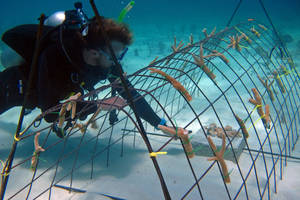 "photo - In this May 30, 2012 photo released by the Puntacana Ecological Foundation, a diver works on a coral reef restoration program in Punta Cana, Dominican Republic. According to the International Union for Conservation of Nature, live coral coverage in the Caribbean is down to an average of just 8 percent, from 50 percent in the 1970s.  Caribbean islands ranging from Bonaire to the U.S. Virgin Islands, conservationists are rearing and planting fast-growing coral species to try and turn things around by ""seeding"" reefs.  (AP Photo/Puntacana Ecological Foundation, Victor Manuel Galvan)"