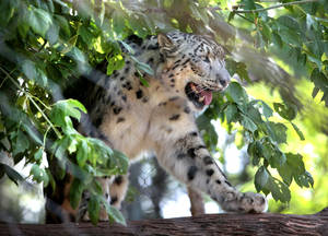 Photo - Dhirin, a  snow leopard, is shown at the Oklahoma City Zoo. <strong>David McDaniel - The Oklahoman</strong>