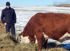 Photo - In this Nov. 15, 2012 photo Viktor Kapinus inspects a Hereford bull on the Helbling Hereford Ranch near Mandan, N.D. The 21-year-old was one of several young Kazahk cattlemen who toured North Dakota ranches and got cattle-tending tips from veteran cowboys. (AP Photo/James MacPherson)
