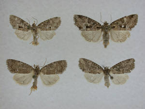 Photo -  A newly discovered species of moth has been named for a Cherokee leader. PHOTO PROVIDED    <strong></strong>