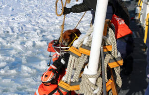 """Photo - In this Monday, March 3, 2014 photo provided by the U.S. Coast Guard, crew members assigned to Coast Guard Cutter Bristol Bay hoist aboard the ship a dog they found stranded on the ice of Lake St. Clair, Mich. The dog, who the crew later named """"Lucky,"""" was taken inside the ship, where it was provided food and care before before taking it to an animal shelter. (AP Photo/U.S. Coast Guard)"""