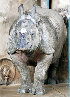 Photo - Niki, a female rhino new to the Oklahoma City Zoo, is getting used to her new surroundings. PHOTO BY PAUL HELLSTERN,  THE OKLAHOMAN