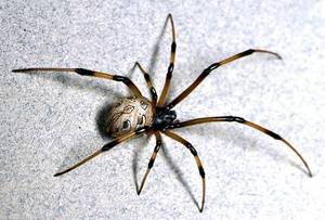 Photo - From University of California, Riverside, this photo shows a brown widow. The back of the brown widow features a geometric pattern and its underside features an hourglass shape like a black widow. <strong></strong>
