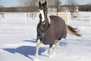 Photo - SNOW / BLIZZARD / WINTER STORM / COLD WEATHER / AFTERMATH: A horse runs in the snow at Cadence Equestrian Center in Logan County, February  2 , 2011. Photo by Steve Gooch, The Oklahoman ORG XMIT: KOD