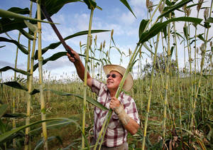 photo - Dan Houser harvests sorghum for the 2010 Sorghum Day Festival in this file photo. This year's festival is coming up on Saturday, Oct. 27. <strong>JIM BECKEL - The Oklahoman Archives</strong>
