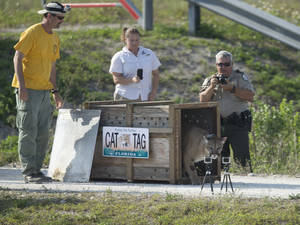 Photo - Florida game offiicals film a Florida panther, rescued as a kitten, as it was released back into the wild in the Florida Everglades, Wednesday, April 3, 2013. Florida Fish and Wildlife Conservation Commission officials reported its sister had been released earlier, after the two cats grew to maturity. They were found in 2011 after their mother was found dead. Only 160 panthers are believed to remain in southern Florida  (AP Photo/J Pat Carter)