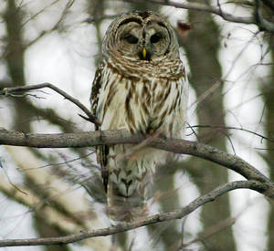 Photo - FiILE - This Feb. 16, 2002 file photo shows a barred owl in Calais, Vt. The U.S. Fish and Wildlife Service plans to start sending hunters into the woods of the Northest to kill barred owls in an experiment to see if that will help the threatened northern spotted owl rebound from population declines. The barred won started moving across the continent in the early 1900s and now occupies all the spotted owl's range, and is considered a major threat tot he smaller and meeker bird's survival. (AP Photo/Toby Talbot, File)
