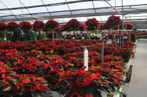photo - Poinsettias grow at TLC Florist and Greenhouses in Oklahoma City. PHOTO PROVIDED